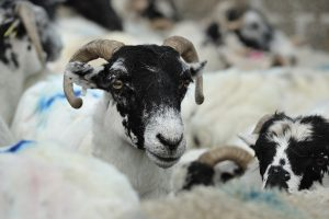 black-faced sheep 1301